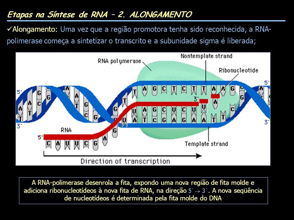 Etapas na Síntese de RNA – 2. ALONGAMENTO