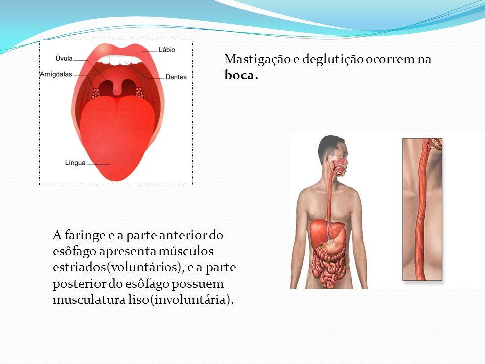 Mastigação e deglutição ocorrem na boca.