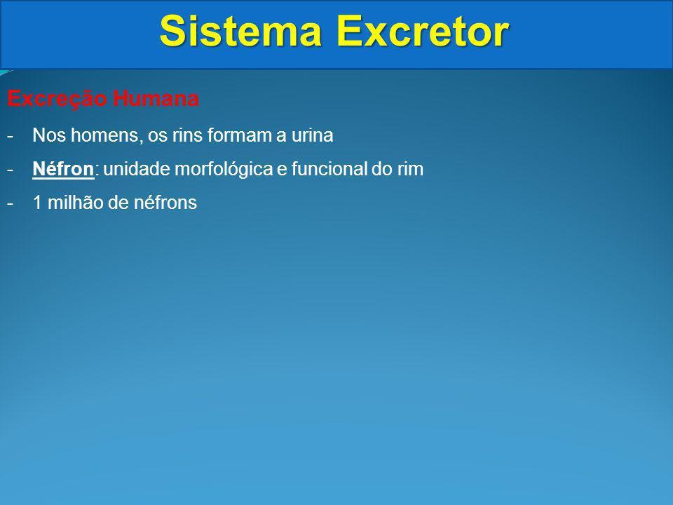 Sistema Excretor Excreção Humana Nos homens, os rins formam a urina