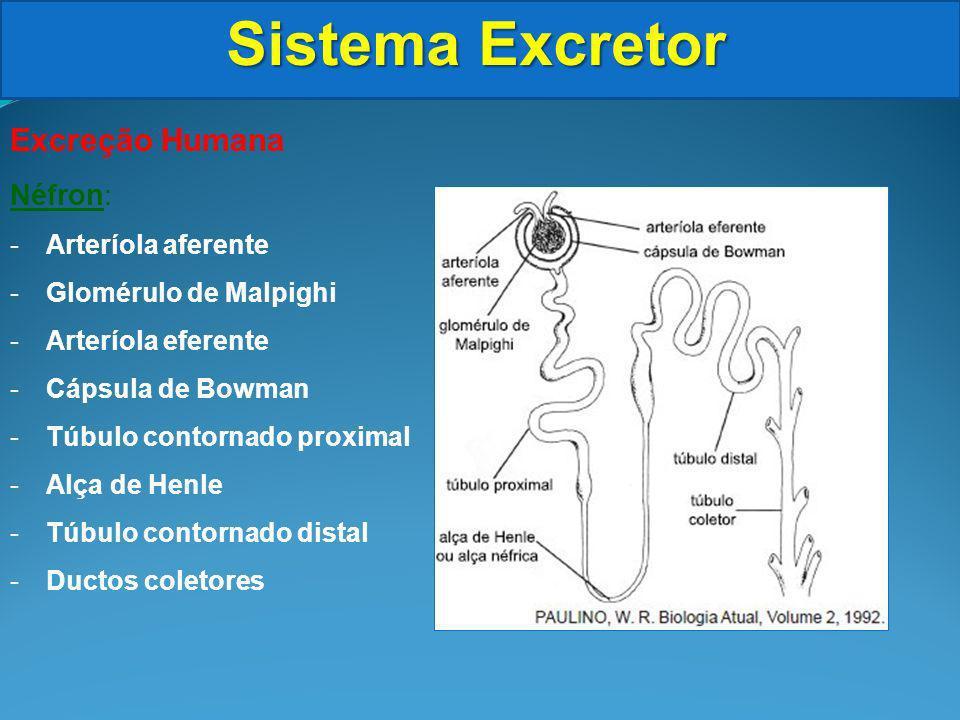Sistema Excretor Excreção Humana Néfron: Arteríola aferente
