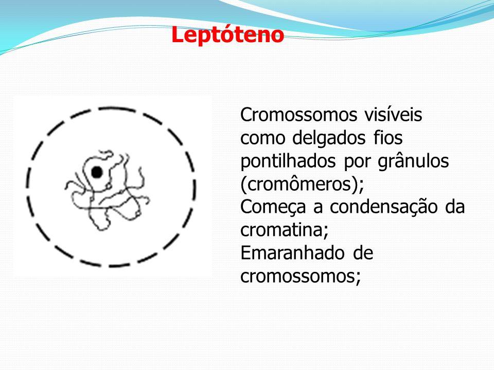 LeptótenoCromossomos visíveis como delgados fios pontilhados por grânulos (cromômeros); Começa a condensação da cromatina;