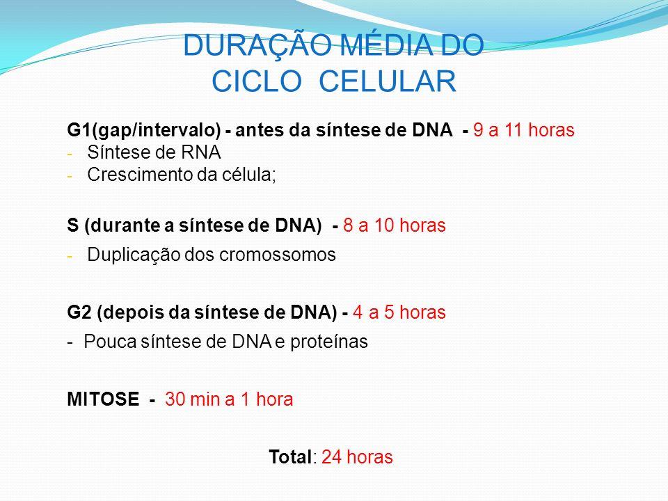 DURAÇÃO MÉDIA DO CICLO CELULAR