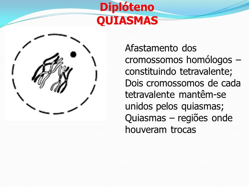Diplóteno QUIASMAS. Afastamento dos cromossomos homólogos – constituindo tetravalente;