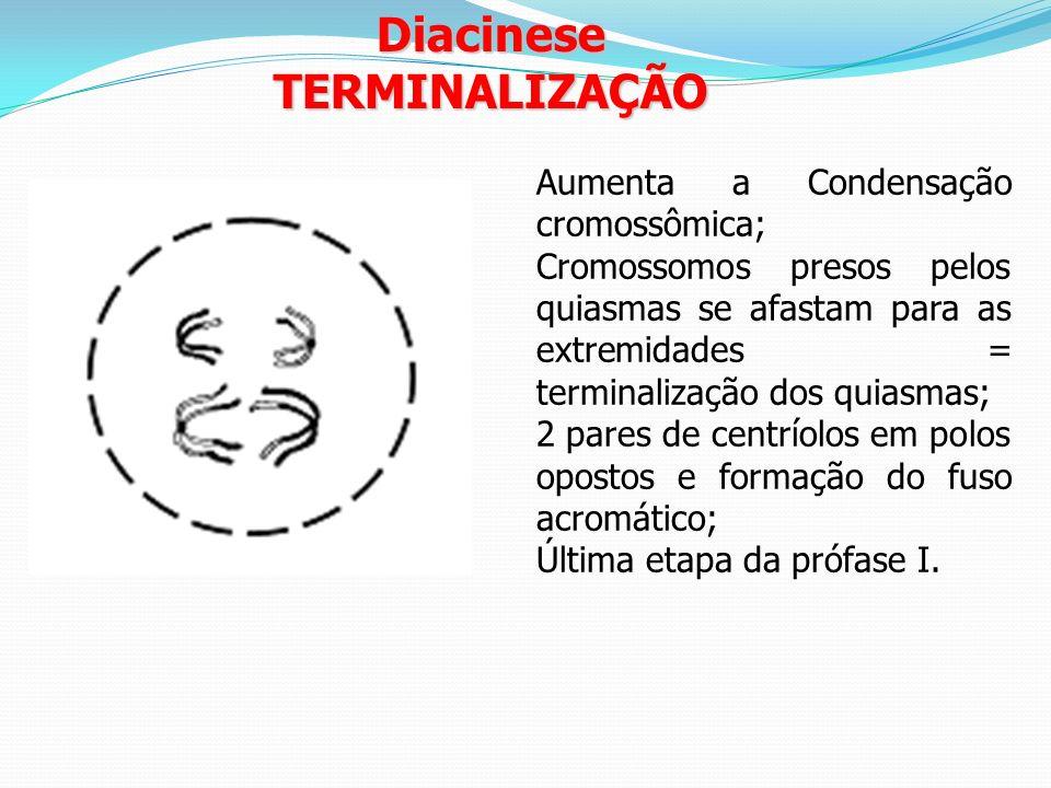 Diacinese TERMINALIZAÇÃO