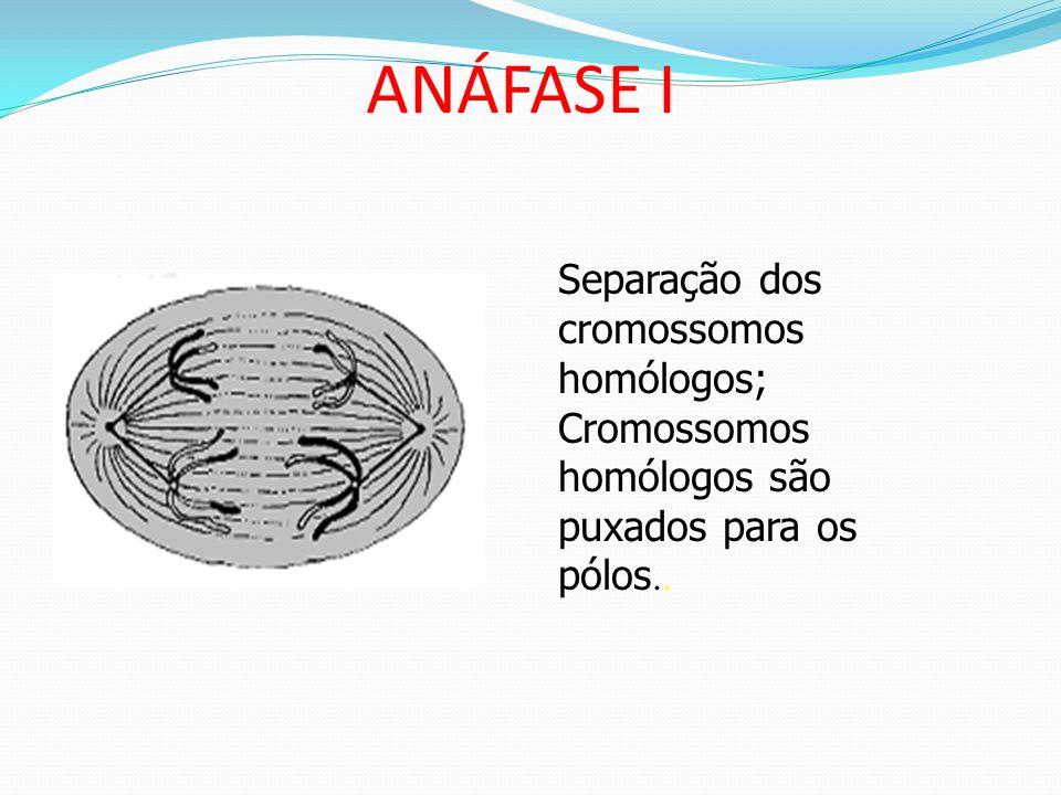 ANÁFASE I Separação dos cromossomos homólogos;