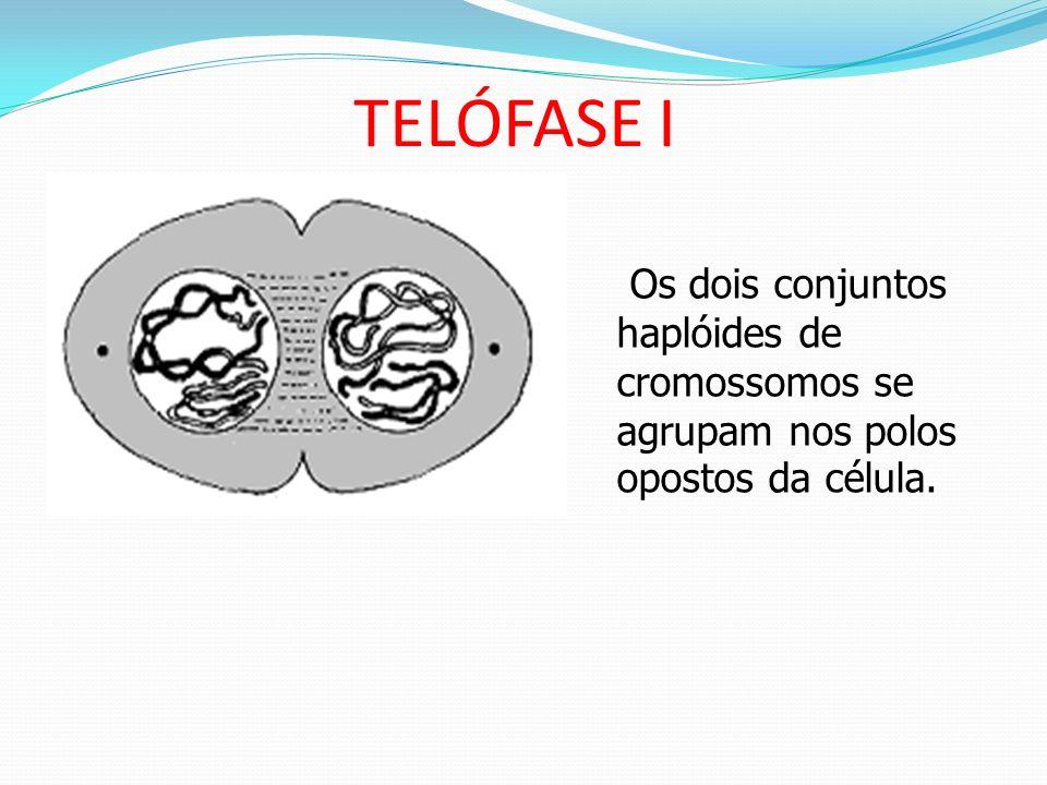 TELÓFASE I Os dois conjuntos haplóides de cromossomos se agrupam nos polos opostos da célula.
