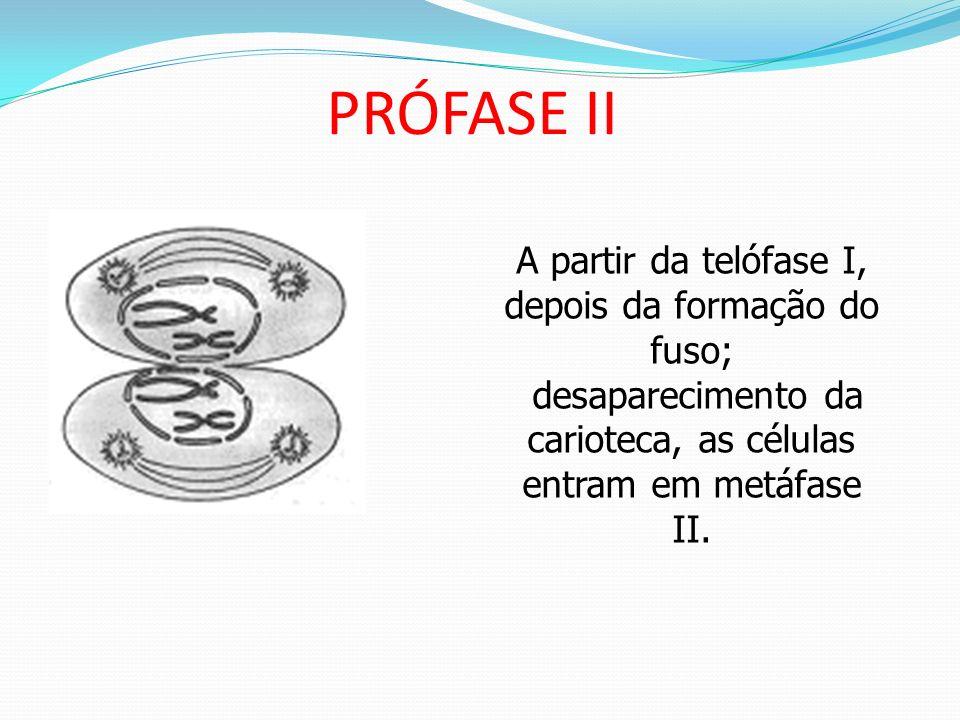 PRÓFASE II A partir da telófase I, depois da formação do fuso;