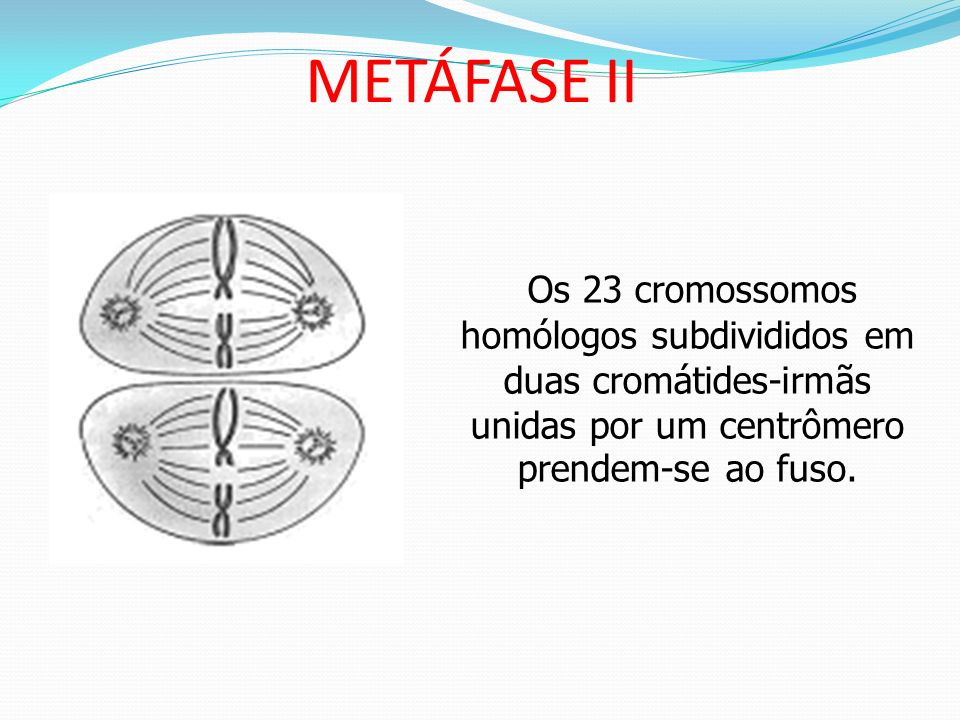 METÁFASE IIOs 23 cromossomos homólogos subdivididos em duas cromátides-irmãs unidas por um centrômero prendem-se ao fuso.