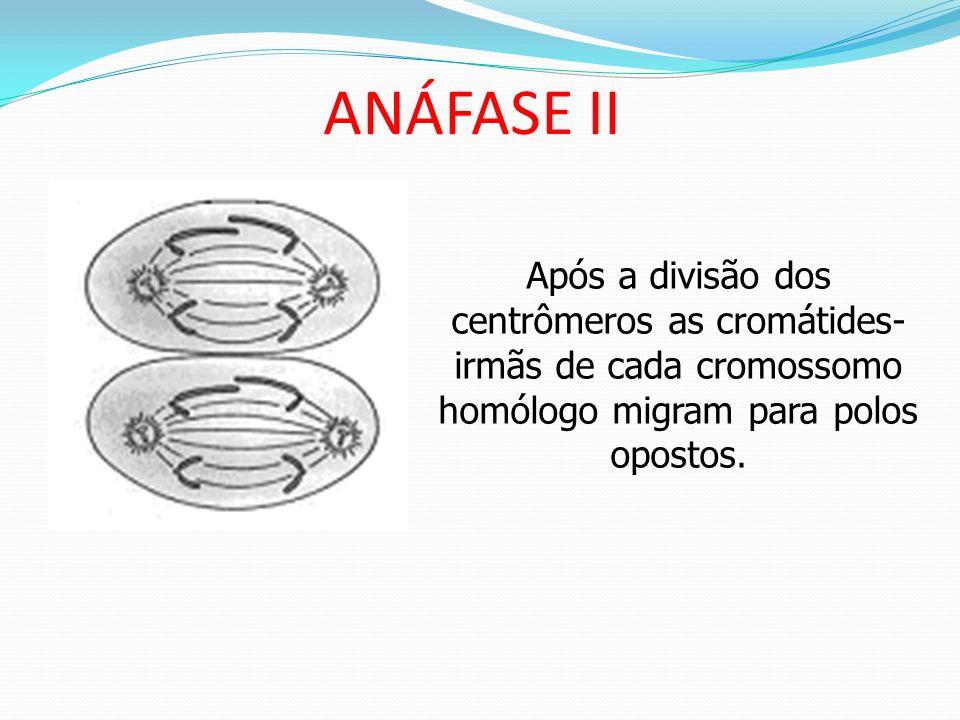 ANÁFASE II Após a divisão dos centrômeros as cromátides-irmãs de cada cromossomo homólogo migram para polos opostos.