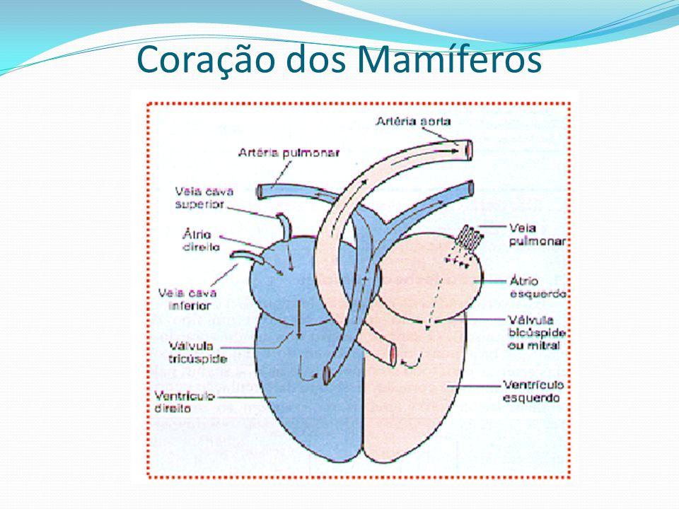 Coração dos Mamíferos