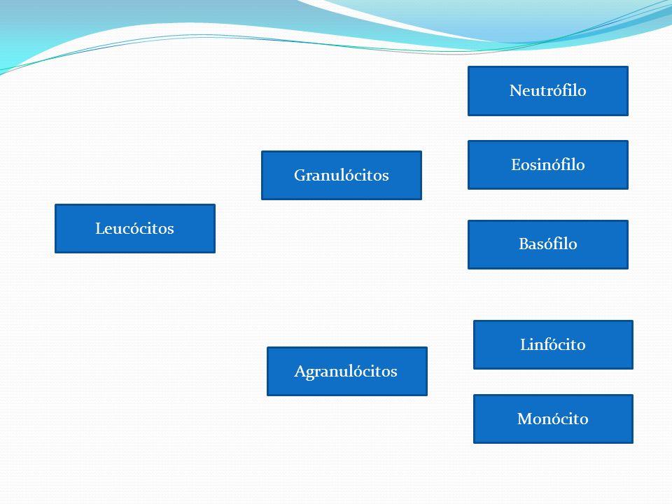 Neutrófilo Eosinófilo Granulócitos Leucócitos Basófilo Linfócito Agranulócitos Monócito