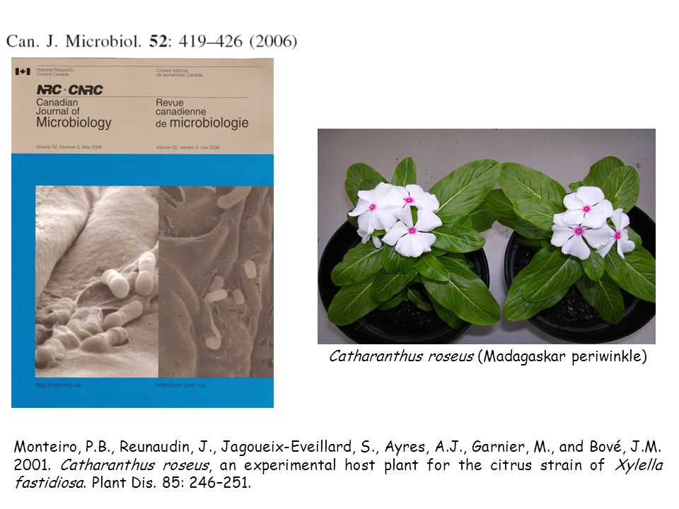 Catharanthus roseus (Madagaskar periwinkle)