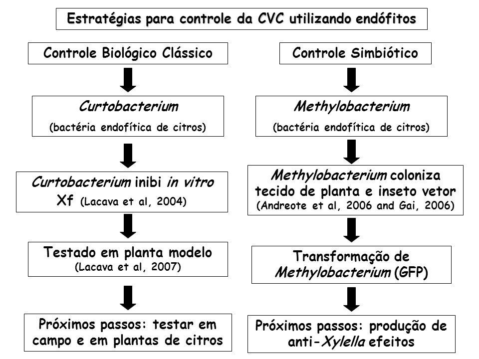Estratégias para controle da CVC utilizando endófitos