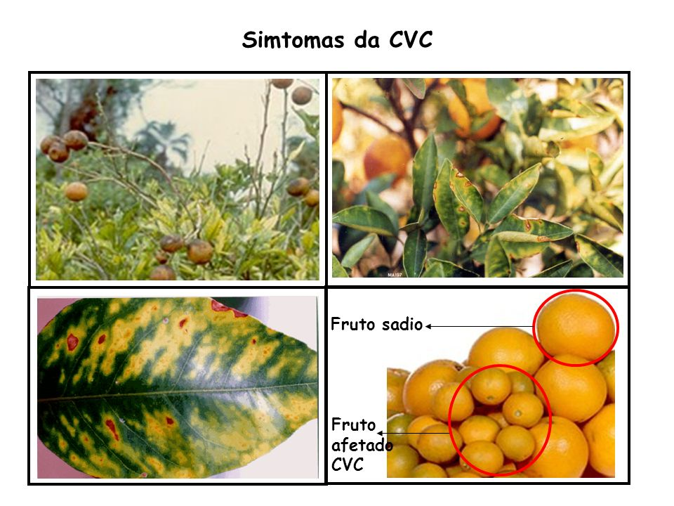 Simtomas da CVC Fruto sadio Fruto afetado CVC