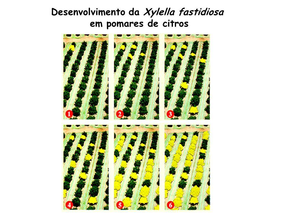 Desenvolvimento da Xylella fastidiosa