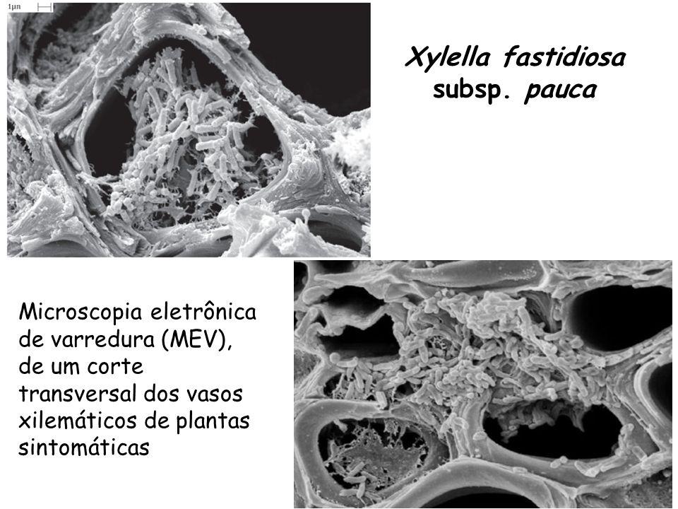 Xylella fastidiosa subsp. pauca