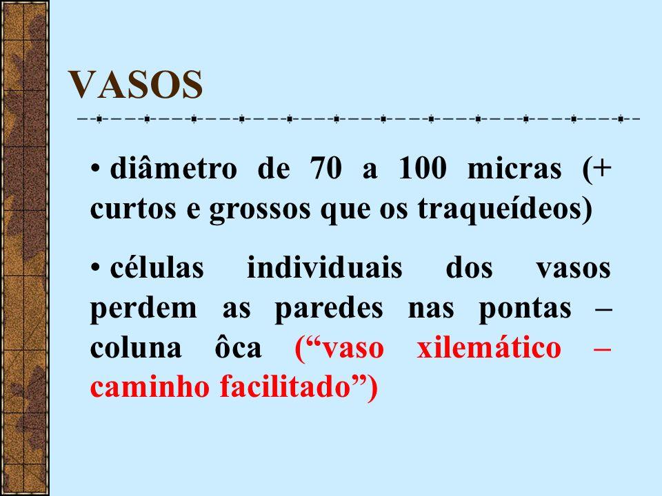VASOS diâmetro de 70 a 100 micras (+ curtos e grossos que os traqueídeos)