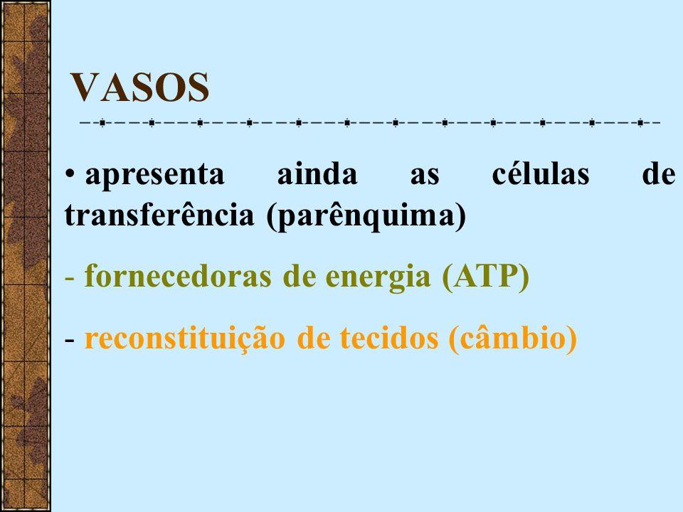 VASOS apresenta ainda as células de transferência (parênquima)