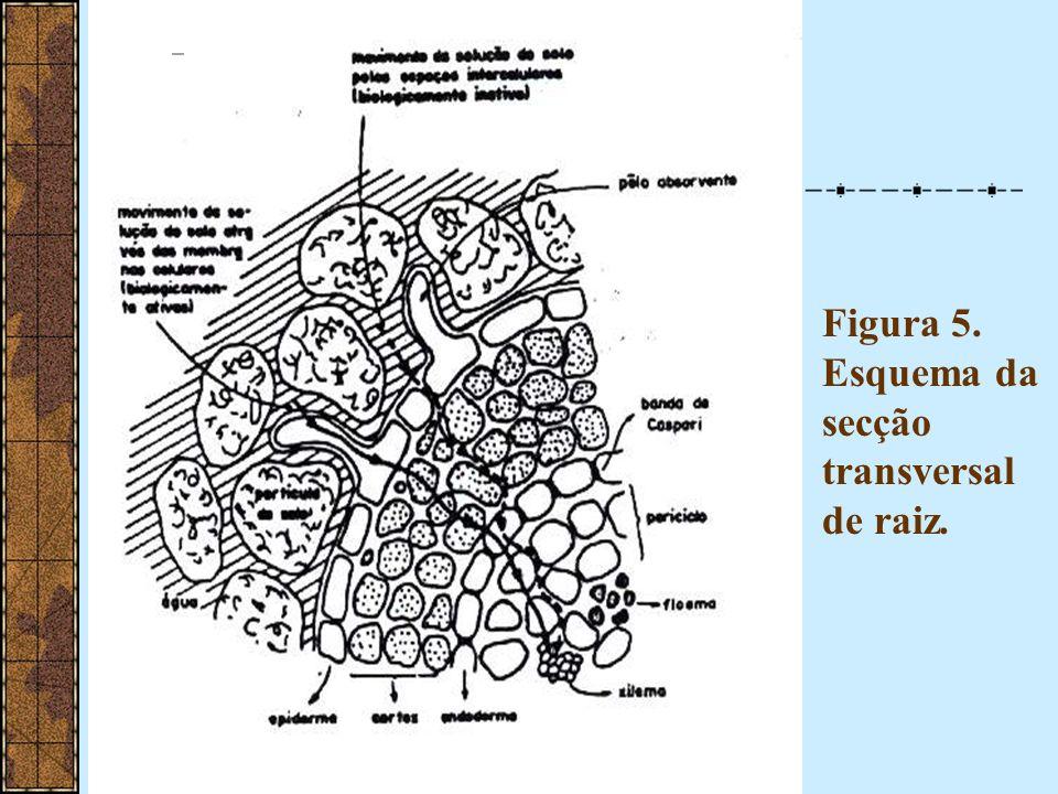 Figura 5. Esquema da secção transversal de raiz.