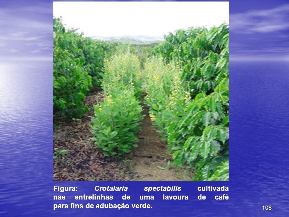 Figura: Crotalaria spectabilis cultivada nas entrelinhas de uma lavoura de café para fins de adubação verde.