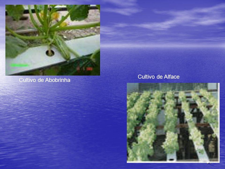 Cultivo de Alface Cultivo de Abobrinha