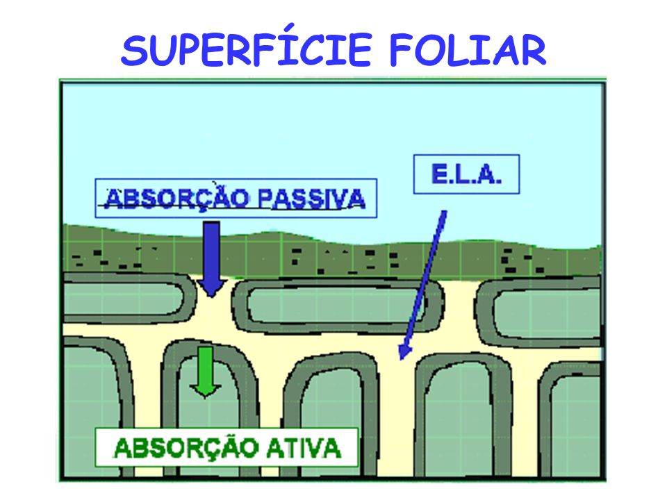 SUPERFÍCIE FOLIAR