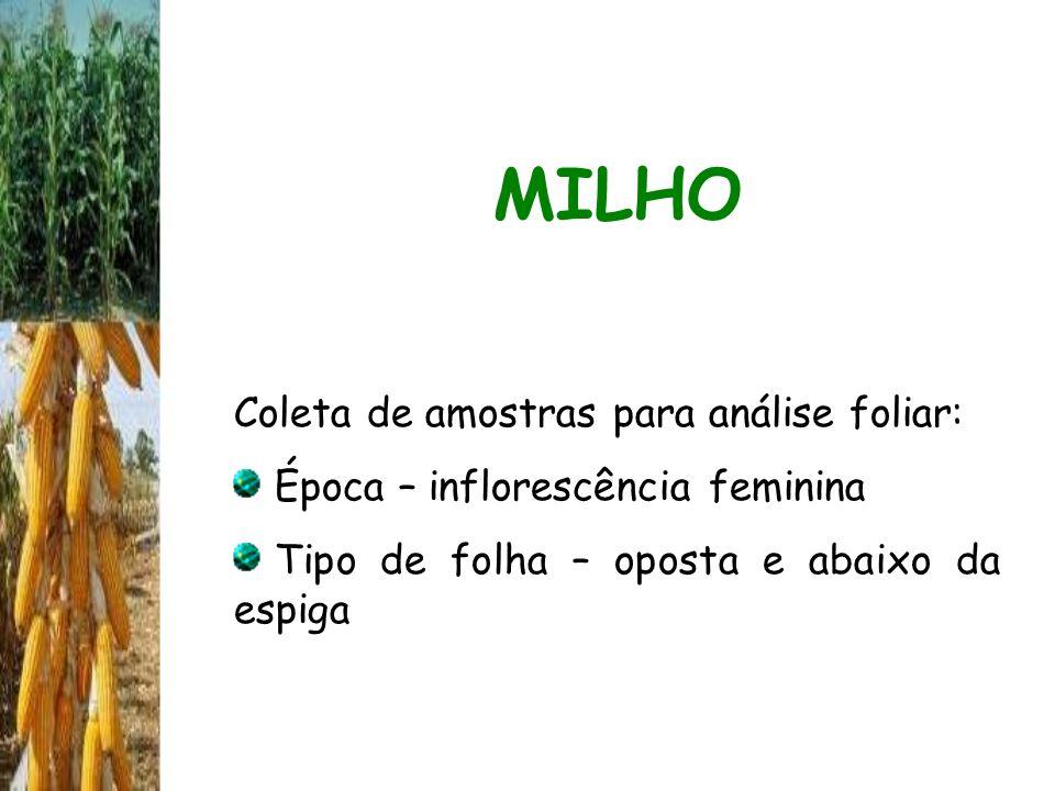 MILHO Coleta de amostras para análise foliar: