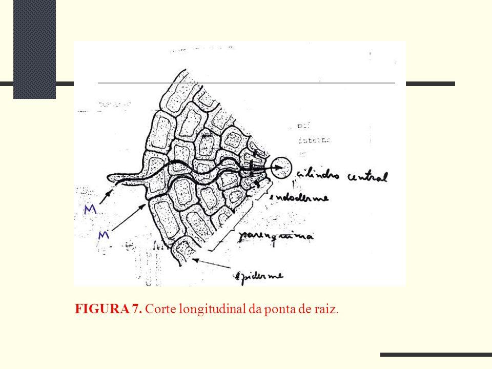 FIGURA 7. Corte longitudinal da ponta de raiz.