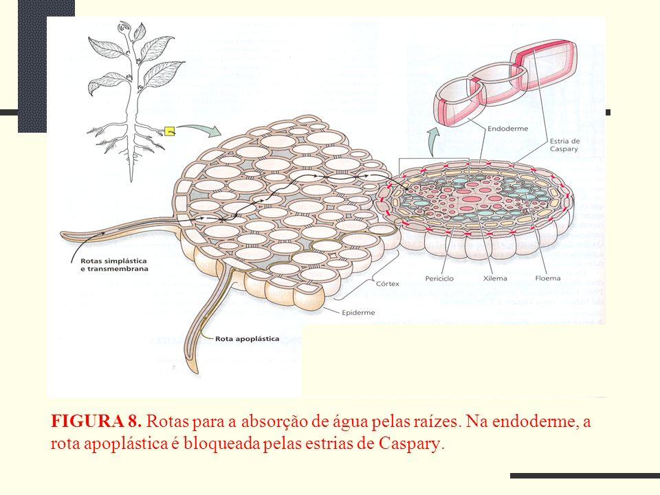 FIGURA 8. Rotas para a absorção de água pelas raízes
