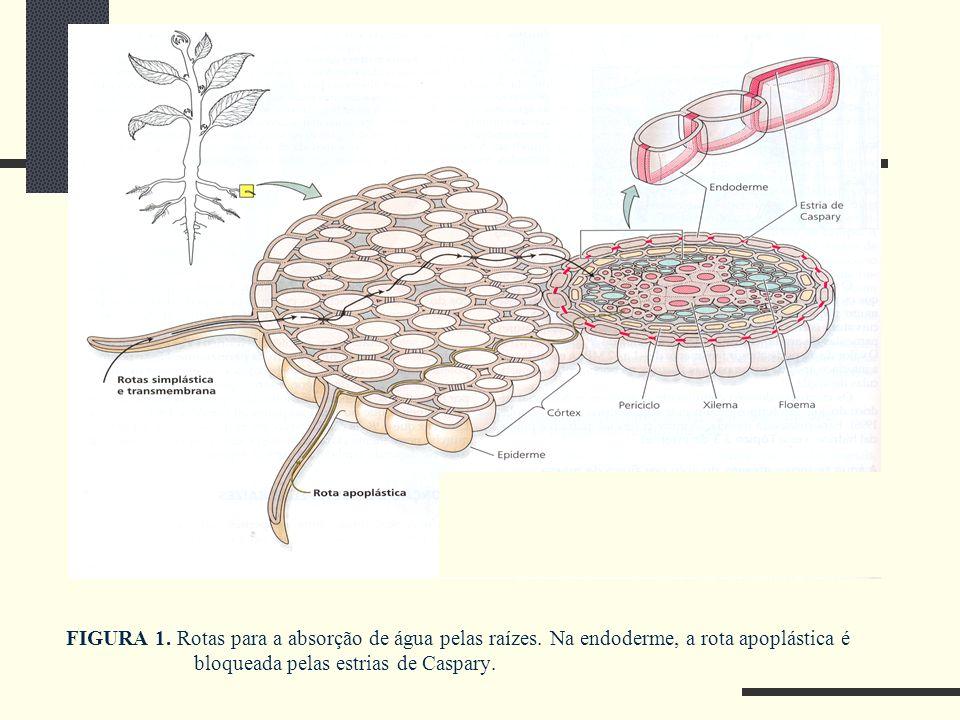 FIGURA 1. Rotas para a absorção de água pelas raízes