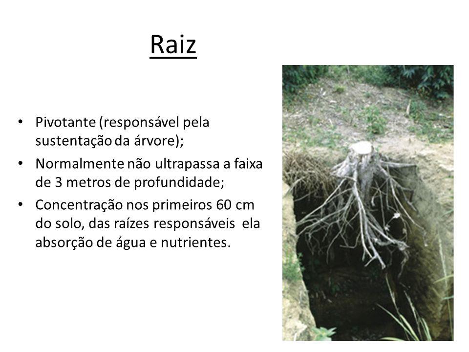 Raiz Pivotante (responsável pela sustentação da árvore);