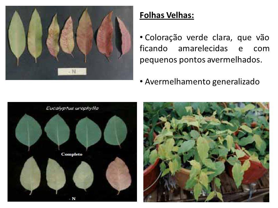 Folhas Velhas: Coloração verde clara, que vão ficando amarelecidas e com pequenos pontos avermelhados.