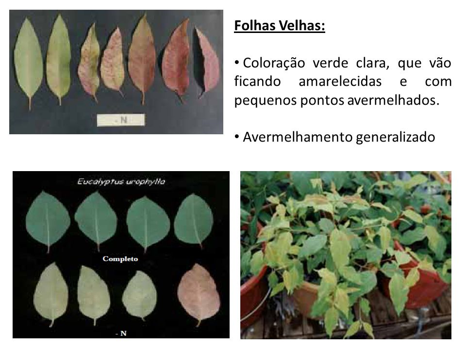 Folhas Velhas:Coloração verde clara, que vão ficando amarelecidas e com pequenos pontos avermelhados.