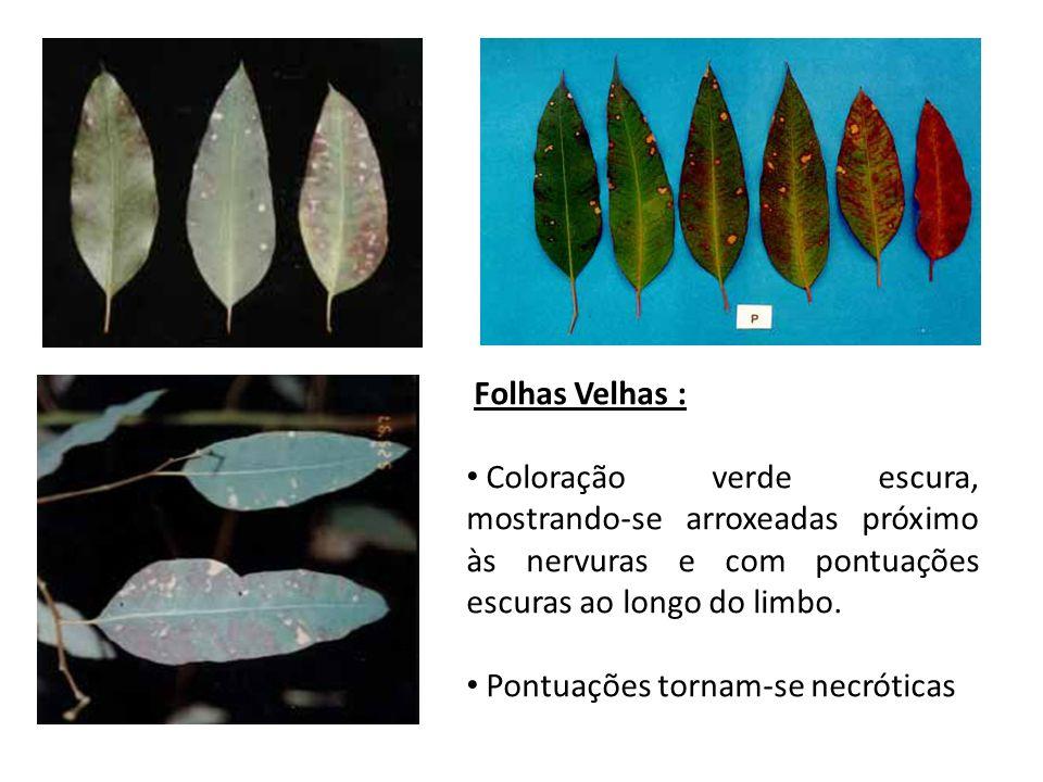 Folhas Velhas :Coloração verde escura, mostrando-se arroxeadas próximo às nervuras e com pontuações escuras ao longo do limbo.