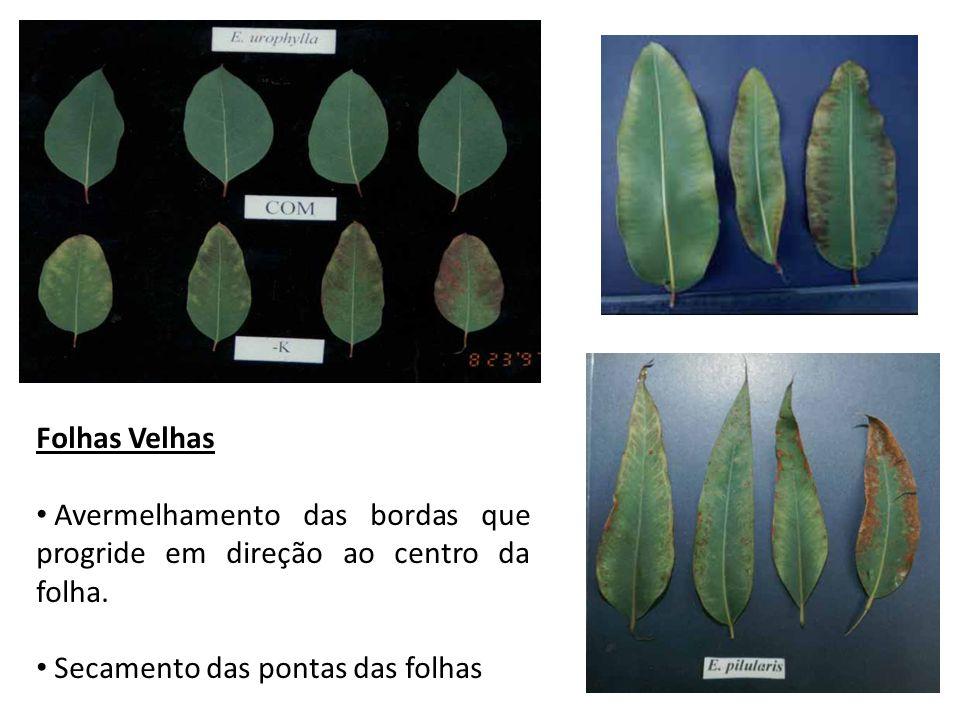 Folhas Velhas Avermelhamento das bordas que progride em direção ao centro da folha.