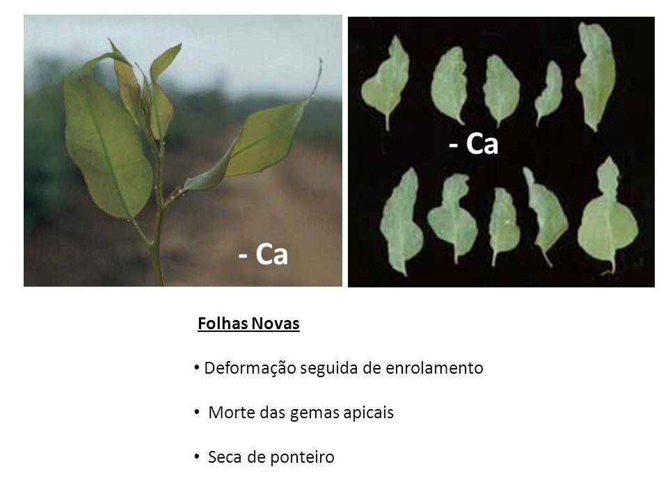 - Ca - Ca Folhas Novas Deformação seguida de enrolamento