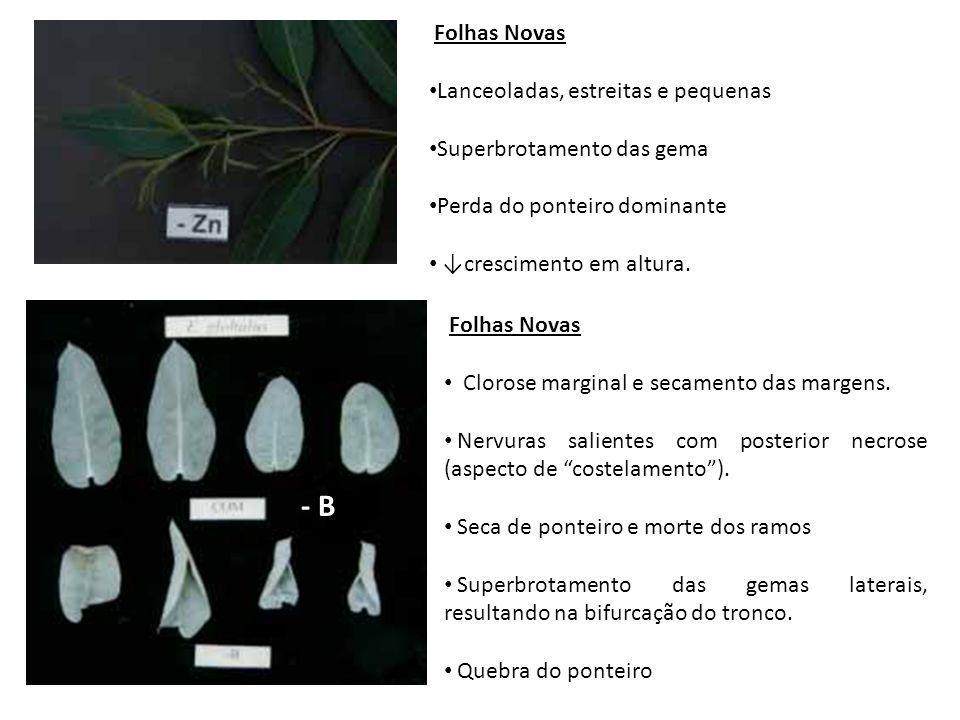 - B Folhas Novas Lanceoladas, estreitas e pequenas