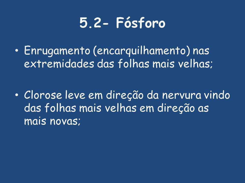 5.2- Fósforo Enrugamento (encarquilhamento) nas extremidades das folhas mais velhas;