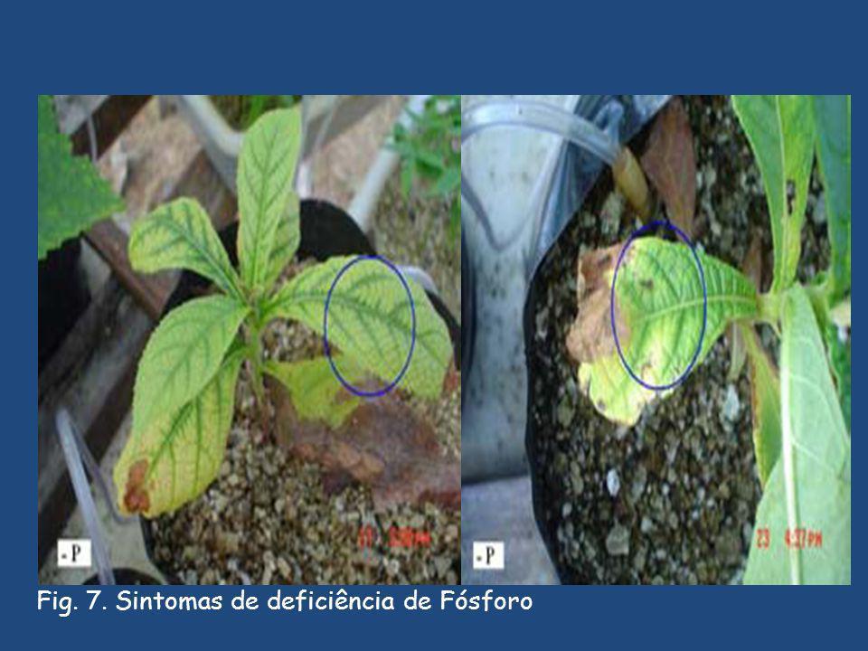 Fig. 7. Sintomas de deficiência de Fósforo