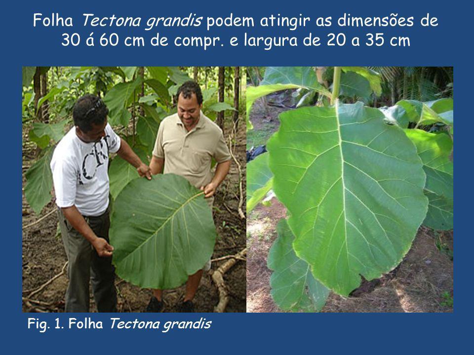 Folha Tectona grandis podem atingir as dimensões de 30 á 60 cm de compr. e largura de 20 a 35 cm