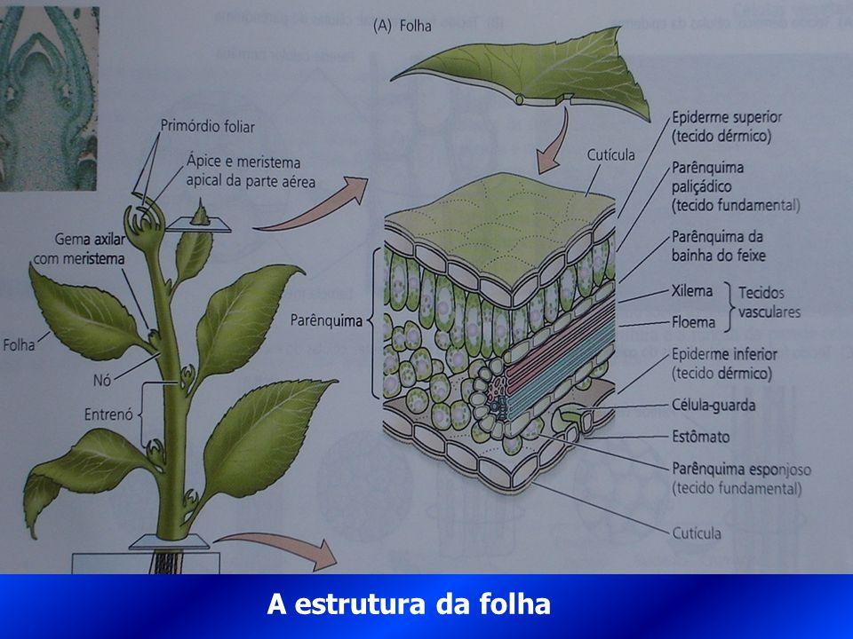 A estrutura da folha