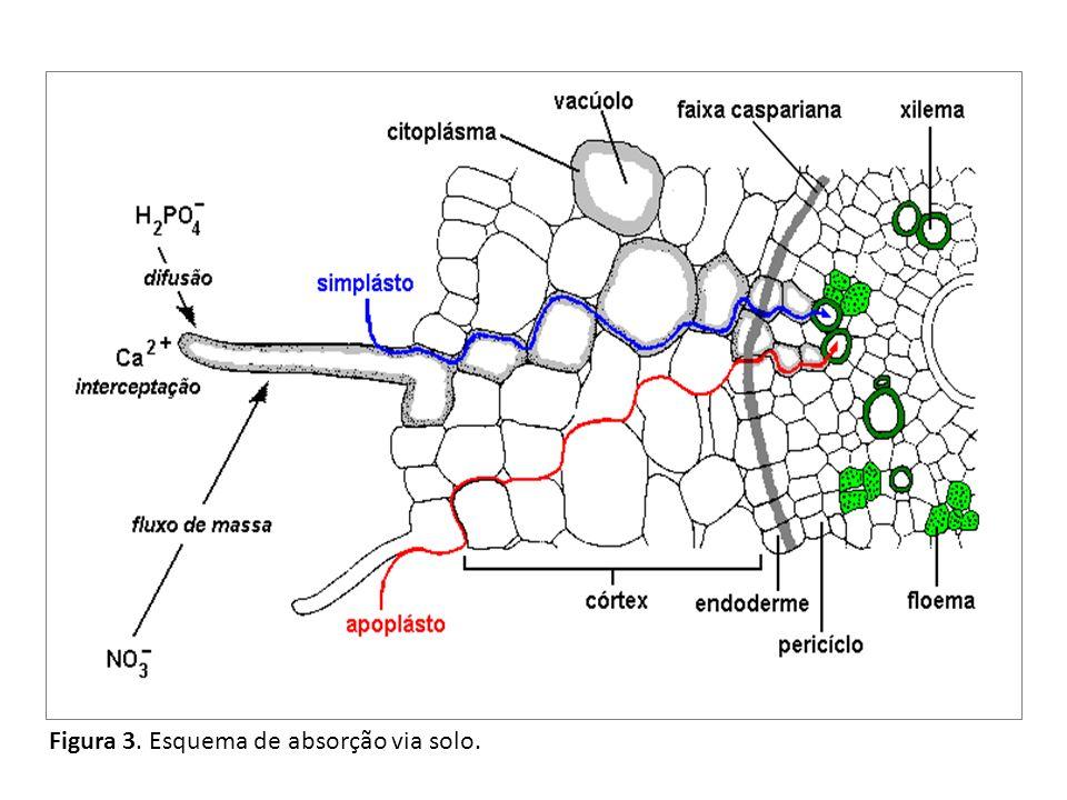 Figura 3. Esquema de absorção via solo.