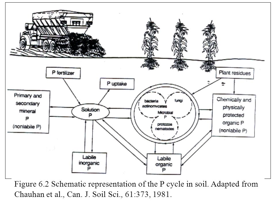 Figure 6. 2 Schematic representation of the P cycle in soil
