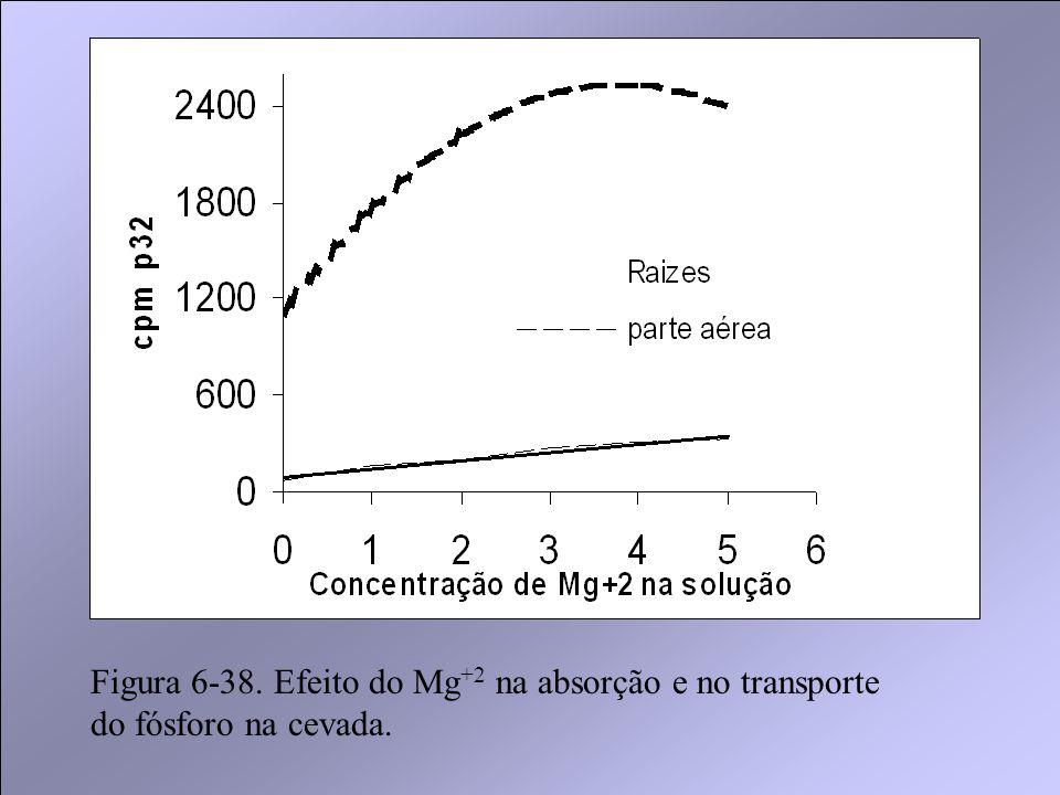 Figura 6-38. Efeito do Mg+2 na absorção e no transporte do fósforo na cevada.