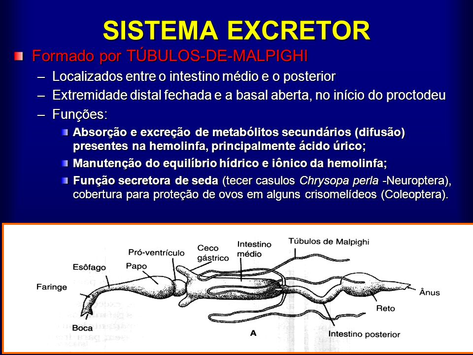 SISTEMA EXCRETOR Formado por TÚBULOS-DE-MALPIGHI
