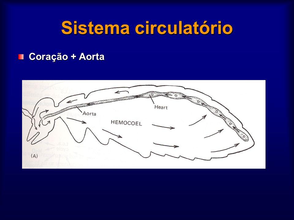 Sistema circulatório Coração + Aorta