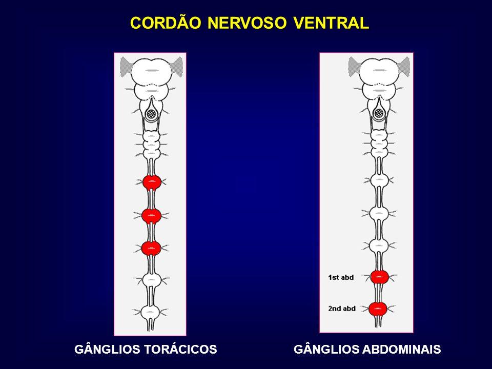 CORDÃO NERVOSO VENTRAL