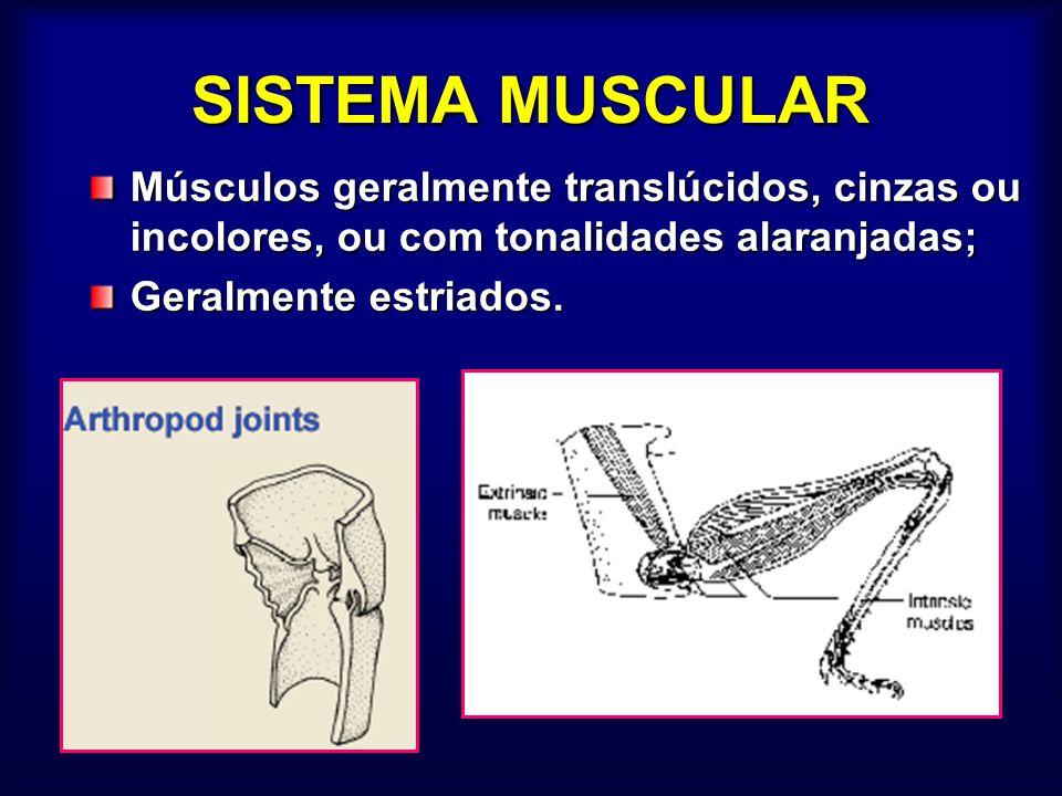 SISTEMA MUSCULAR Músculos geralmente translúcidos, cinzas ou incolores, ou com tonalidades alaranjadas;