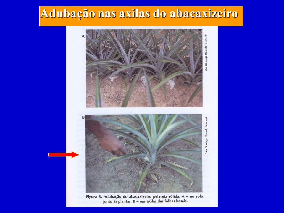 Adubação nas axilas do abacaxizeiro
