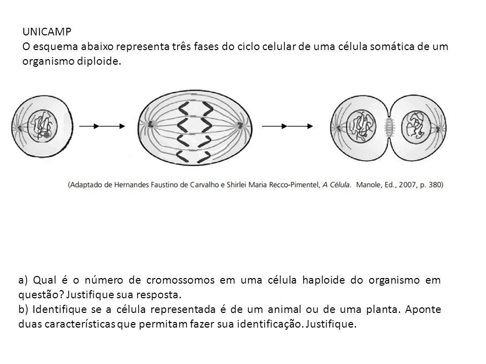 UNICAMP O esquema abaixo representa três fases do ciclo celular de uma célula somática de um organismo diploide.